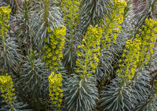 Euphorbia Characias in bloom. Macro center focus on the flower on Euphorbia Characias. The white milky sap of this plant is poisonous and a skin irritant Stock Image