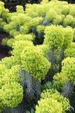 Euphorbia characias Stock Photos