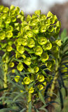 Euphorbia charicias. Subspecies wulfenii Common Names: Milkweed, Spurge Single upright stem of small, cupped chartreuse coloured bracts and flowers with a royalty free stock images