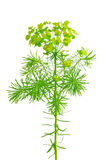 Euphorbia cyparissias (cypress spurge) Stock Photography