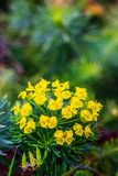 Euphorbia cyparissias Royalty Free Stock Images