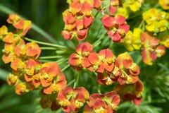 Euphorbia cyparissias Royalty Free Stock Photo