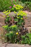 Euphorbia cyparissias Stock Photography