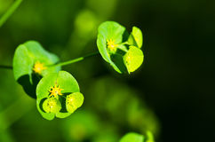 Euphorbia Stock Photos