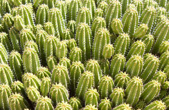 Euphorbia Echinus Stock Photos
