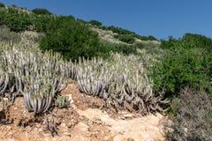 Euphorbia echinus growing on hillside amongst other vegeationa in arid conditions, Agadir, Morocco stock photo