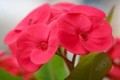 Euphorbia elegans Royalty Free Stock Image