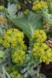 Euphorbia family. Plant of the euphorbia family in the garden Stock Photo
