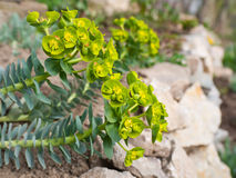 Euphorbia flower Stock Image
