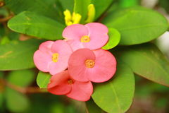 Euphorbia Flower Stock Photography