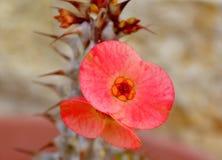 Euphorbia flower. Close up of euphorbia flower Stock Photography