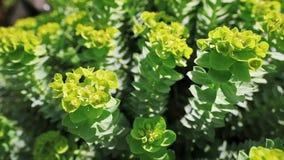 Euphorbia flower closeup shot stock video