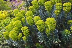 Euphorbia flowering plants in a garden. Tall euphorbia flowering plants in a garden stock photography