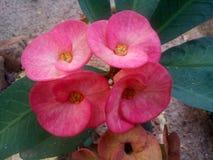 Euphorbia flowers. Beautiful euphorbia flower in garden Royalty Free Stock Photos