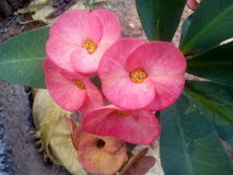 Euphorbia flowers. Beautiful euphorbia flower in garden stock photo