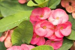 Euphorbia flowers Stock Photo