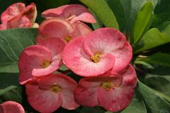 Euphorbia flowers Royalty Free Stock Images
