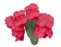 Euphorbia flowers Stock Images