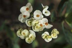Euphorbia flowers Royalty Free Stock Image