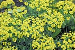 Euphorbia garden Royalty Free Stock Photography