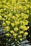 Euphorbia griffithii Royalty Free Stock Photo
