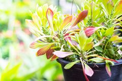 Euphorbia hanging tree in pot with green leaf . royalty free stock image