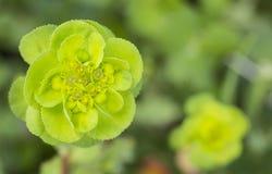 Euphorbia helioscopia Stock Photo