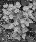 Euphorbia helioscopia - a spurge plant Royalty Free Stock Photography