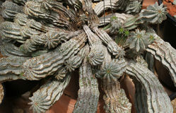 Euphorbia horrida, Africa milk barrel. Cactus-like plants with strong ridges, spiny stem and green cyathia occurring singly royalty free stock photos
