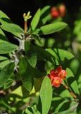 euphorbia koron, kolce Fotografia Stock