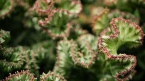 Euphorbia krönade den vintergröna ökenväxten som odlades som dekorativt i trädgård Suckulentbakgrund, naturlig modell arkivfilmer