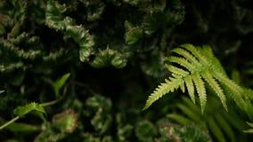Euphorbia krönade den vintergröna ökenväxten som odlades som dekorativt i trädgård Suckulentbakgrund, naturlig modell stock video