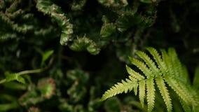 Euphorbia krönade den vintergröna ökenväxten som odlades som dekorativt i trädgård Suckulentbakgrund, naturlig modell lager videofilmer