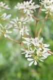 Euphorbia Leucocephala Flowers. The close up shot of some Euphorbia Leucocephala flowers Stock Image