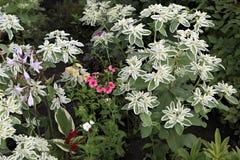Euphorbia Marginata Or Whitemargined Spurge Stock Image