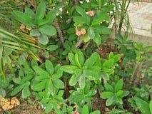 Euphorbia Milii Arkivfoton