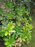 Euphorbia Milii Arkivfoto