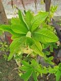 Euphorbia Milii Royaltyfri Fotografi