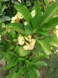 Euphorbia Milii Royaltyfri Foto