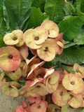 Euphorbia Milii Arkivbild