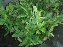 Euphorbia Milii Arkivbilder