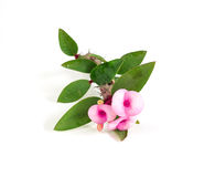 Euphorbia Milii Stock Photos