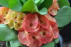 Euphorbia Milii Stock Photo