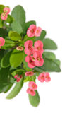 Euphorbia milii Stock Photo