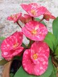 Euphorbia Milii Royaltyfri Bild