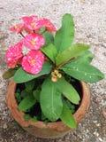 Euphorbia Milii Royaltyfria Bilder