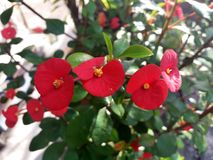 Euphorbia milii Royalty Free Stock Images