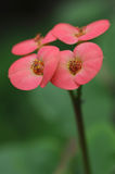 Euphorbia Milii Royalty Free Stock Photos