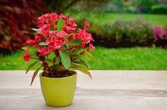 Euphorbia milii Stock Images