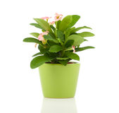 Euphorbia Milii (crown Of Thorns) Stock Photography